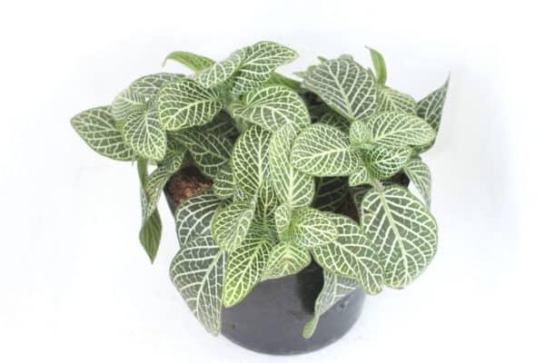 Nerve Plant - unique houseplant